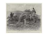 Studies from Life at the Zoological Gardens  the Red Kangaroo