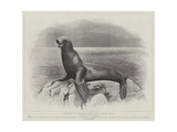 Studies from Life at the Zoological Gardens  a Californian Sea-Lion
