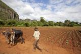 The Farmer in Vinales Valley  Cuba