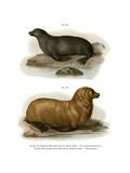 South American Fur Seal  1860