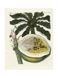 The Melon or Papaya Tree