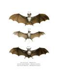 Greater False Vampire Bat  1860