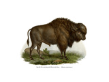 American Bison  1860