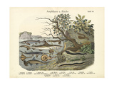 Amphibians and Fishes  C1860