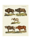 Various Kinds of Oxen