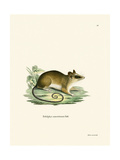 Common Mouse Opossum