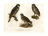 Northern Hawk Owl  1864