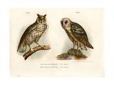 Horned Owl  1864