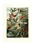 Trochilidae  1899-1904