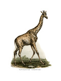 Giraffe  1860