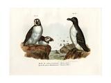 Artic Puffin  1864