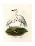 Great White Egret  1864