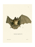 Striped Hairy-Nosed Bat