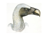 Birds: Falconiformes  Eurasian Griffon Vulture  (Gyps Fulvus)
