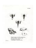 Manatee Skulls