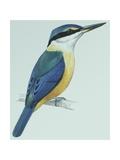 Birds: Coraciiformes  Sacred Kingfisher (Todiramphus Sanctus)