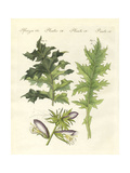 Acanthus Plants