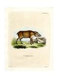 Papuan Wild Boar