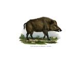 Wild Boar  1860
