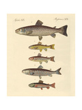 Kinds of Trouts