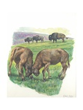 Young Male American Bison Bison Bison Fighting