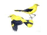 Birds: Passeriformes  Golden Oriole (Oriolus Oriolus)