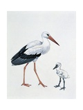 Close-Up of a White Stork with its Young (Ciconia Ciconia)