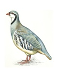 Birds: Galliformes  Rock Partridge (Alectoris Graeca)