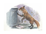 Red Fox Vulpes Vulpes Looking for Food in a Garbage Bin