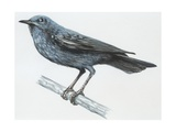 Zoology: Birds  Blue Rock-Thrush (Monticola Solitarius)