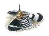 Birds: Coraciiformes  Hoopoe (Upupa Epops) Camouflaging