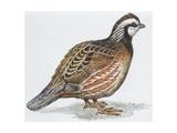 Zoology: Birds  Bobwhite Quail (Colinus Virginianus)