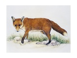 Red Fox (Vulpes Vulpes)  Canidae  Drawing