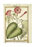 Pink Morning Glory (Ipomoea Carnea)  1789