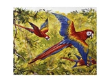 Scarlet Macaw (Ara Macao)  Psittacidae