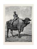 Egypt: a Buffalo and His Driver