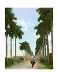 Avenue of Palms  Havana  1903