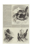 A Monograph of the Toucans or Ramphastidae