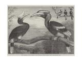 The Hornbills  in the Garden of the Zoological Society  Regent's Park
