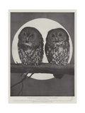 Studies from Life at the Zoological Gardens  Tawny Owls