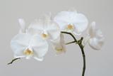Moth Orchid (Phalaenopsis) Epiphyte