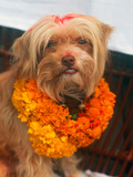 Worship of the Dog  Tihar Festival  Katmandu  Nepal