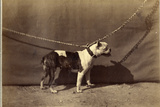 Chained Bull Terrier  1867