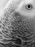 Close-up of Feathers and Eye of an African Grey Parrot