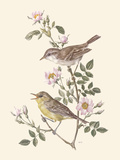Eastern Olivaceous and Icterine Warblers