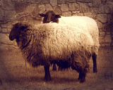 Sheep in Vignette