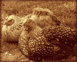 Hens in Vignette