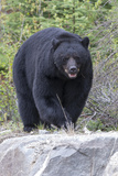 A Large Black Bear  Ursus Americanus  Moves Quickly over the Rocks