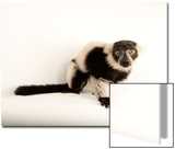 A Critically Endangered Black and White Ruffed Lemur  Varecia Variegata  Lincoln Children's Zoo