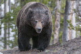 A Grizzly Bear  Ursus Arctos Horribilis  Walks on a Trail